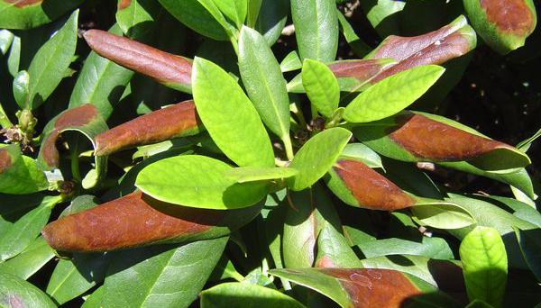 Rhododendronstrauss Rhododendron Und Azaleen Schädlinge Und